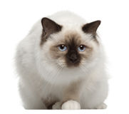 Verticale de chat de Birman, se reposant devant Images stock