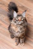 Verticale de chat de ragondin du Maine Image libre de droits