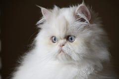 Verticale de chat persan Photos libres de droits
