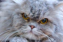 Verticale de chat persan Photographie stock