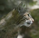 Verticale de chat sauvage Photographie stock libre de droits