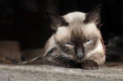 Verticale de chat siamois Photo libre de droits
