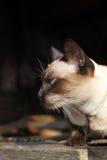Verticale de chat siamois Photographie stock