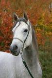 Verticale de cheval Arabe Image libre de droits