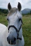 Verticale de cheval blanc Photo libre de droits