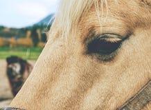 Verticale de cheval blanc Petit groupe d'oeil de tête de cheval blanc avec le licou photo stock