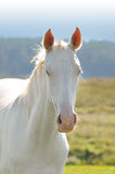 Verticale de cheval d'Akhal-teke photo libre de droits