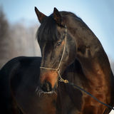 Verticale de cheval de baie en hiver Image libre de droits