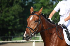 Verticale de cheval de baie pendant l'exposition de dressage Images stock