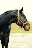 Verticale de cheval de Brown Images stock