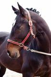 Verticale de cheval de Brown Photographie stock libre de droits