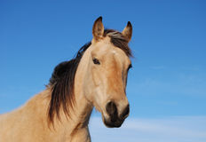 Verticale de cheval de peau de daim Images libres de droits