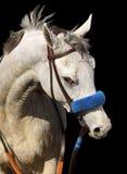 Verticale de cheval gris Photos stock