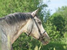 Verticale de cheval gris Photo libre de droits