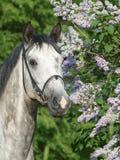 Verticale de cheval gris Images stock