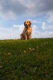 Verticale de chien d'arrêt d'or photographie stock