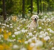 Verticale de chien d'arrêt d'or image libre de droits