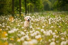 Verticale de chien d'arrêt d'or photographie stock libre de droits