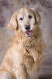 Verticale de chien d'arrêt d'or Photos stock