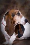 Verticale de chien de basset-hound Photo libre de droits