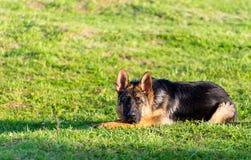 Verticale de chien de berger humide Images libres de droits