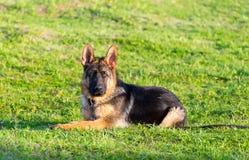 Verticale de chien de berger humide Photographie stock libre de droits