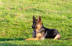 Verticale de chien de berger humide Photo libre de droits
