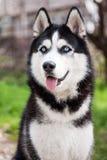 Verticale de chien de traîneau Photo libre de droits