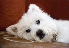 Verticale de chien terrier blanc de montagne occidentale Photos stock