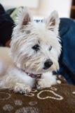 Verticale de chien terrier blanc de montagne occidentale Images libres de droits