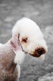 Verticale de chien terrier de Bedlington Photo stock
