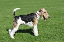 Verticale de chien terrier de Fox Images libres de droits