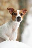 Verticale de chien terrier de Jack Russell photos libres de droits