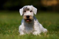 Verticale de chien terrier de Sealyham Images libres de droits