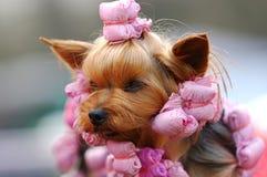 Verticale de chien terrier de Yorkshire images libres de droits