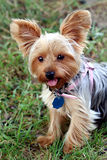 Verticale de chien terrier de Yorkshire Images stock