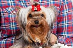 Verticale de chien terrier de Yorkshire photographie stock