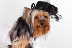 Verticale de chien terrier de Yorkshire photos stock