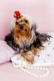 Verticale de chien terrier de Yorkshire Photos libres de droits