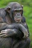 Verticale de chimpanzé Images stock