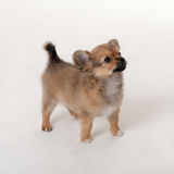 Verticale de chiot Photo stock