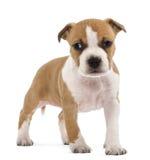 Verticale de chiot de chien terrier de Staffordshire américain Images libres de droits