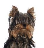Verticale de chiot de chien terrier de Yorkshire, 5 mois Image libre de droits