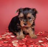 Verticale de chiot de crabot de chien terrier de Yorkshire Image libre de droits