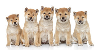 Verticale de chiots d'inu de Shiba Photos stock
