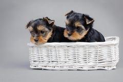 Verticale de chiots de crabot de chien terrier de Yorkshire Photographie stock libre de droits