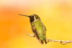 Verticale de colibri Photographie stock libre de droits