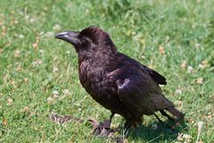 Verticale de corbeau noir Photographie stock libre de droits