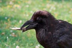 Verticale de corbeau noir Images libres de droits