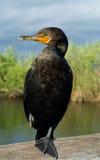 Verticale de Cormorant photographie stock libre de droits